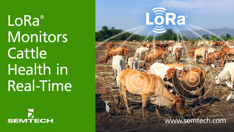 Semtech's LoRa Technology Monitors Cattle Health in Real-Time Quantified Ag's LoRa-based sensors allow accurate analysis of a cow's health, increasing efficiency