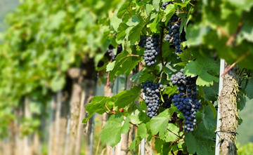 Vinduino's smart irrigation solution with Semtech's LoRa Technology enables vineyards to monitor and manage soil moisture.